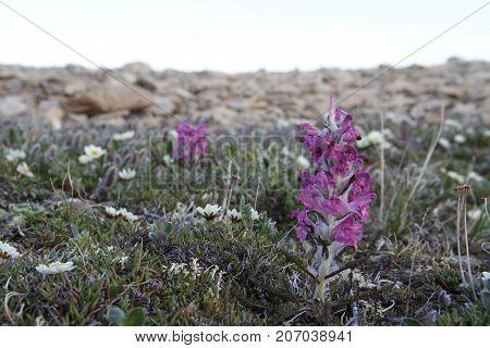 Woolly lousewort (Pedicularis lanata) on the Canadian arctic tundra