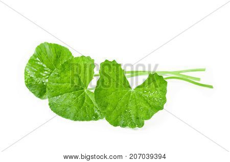 Fresh Centella asiatica Asiatic Pennywort leaf isolated on white background.