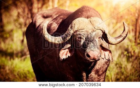 Safari, portrait of a big buffalo in a wild nature, dangerous great horned animal in the game park, beautiful wildlife of South Africa