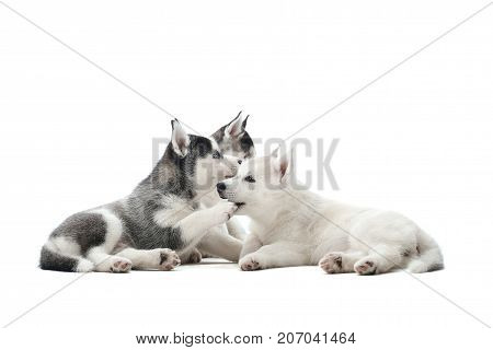 Three different color of fur pretty puppies of siberian husky dog, black, white and gray with blue eyes, resting and playing with each other. Cute little pets  waiting for food, lying on floor.