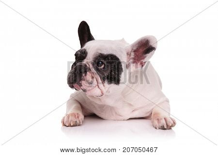 sad french bulldog lying down and looks to side on white background