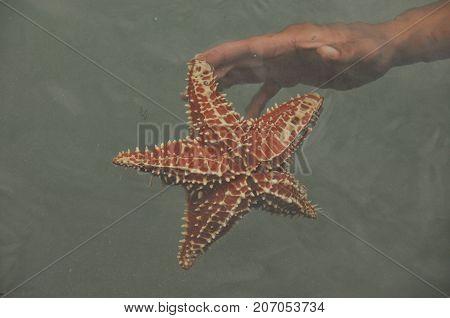 Starfish Oreaster reticulatus held in hand caught in the Bocas del Toro in the Caribbean in Panama