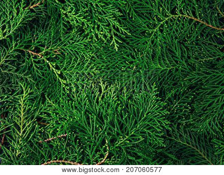 fresh green pine leaves Oriental Arborvitae Thuja orientalis (also known as Platycladus orientalis) leaf texture background for design foliage pattern and backdrop