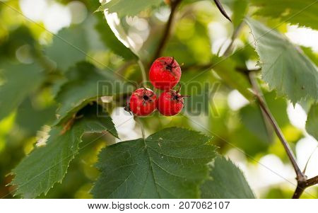 red hawthorn on a tree branch in the garden .