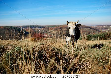 One Horned Black And White Cow Grazing On The Autumn Glade And Staring At The Camera On The Backgrou