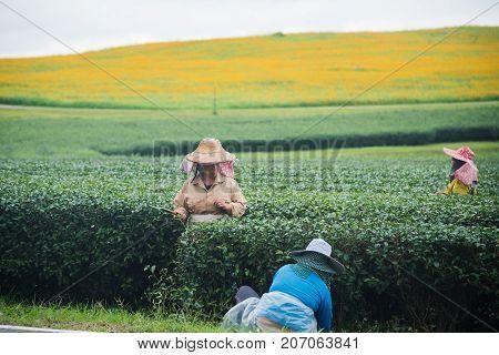 worker woman harvesting green tea in the tea farm