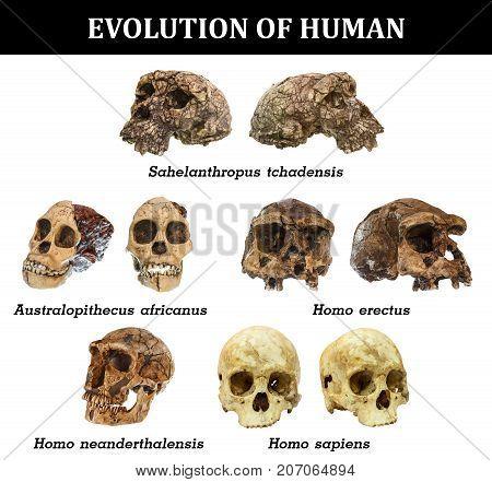 Evolution Of Human Skull ( Sahelanthropus Tchadensis . Australopithecus Africanus . Homo Erectus . H