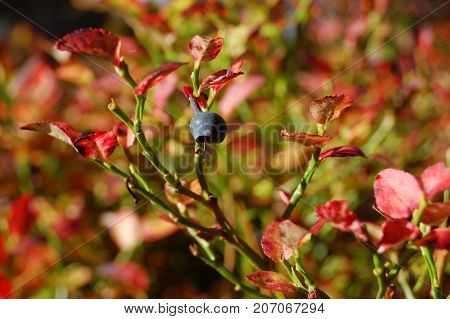 Blueberry bush  (Vaccinium myrtillus) with red autumn leaves and last berry in forest, in Finland.