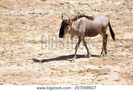 Antelope wildebeest in a deserted wildlife park
