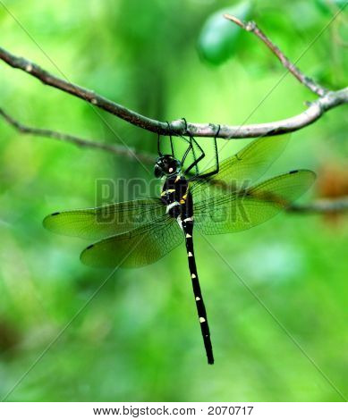 Black Dragonfly On A Limb