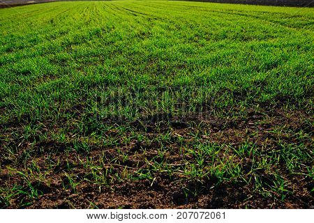 Close-up View On The Farm Cornfield With Green Grass And Soil In Countryside