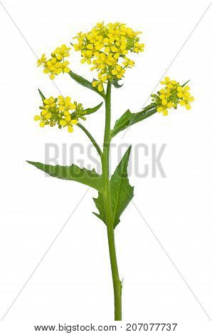 Rapeseed flower isolated on a white background