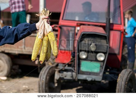 Corn Cobs In Farmer's Hand With Tractor Behind