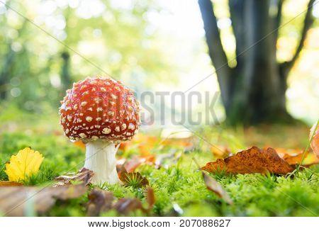 closeup of beautiful Amanita muscaria mushrooms in an autumn forest
