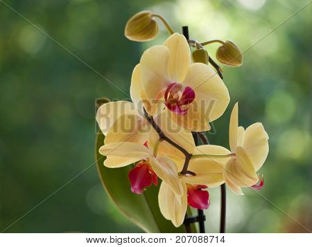 Yellow orchids flowers on a blurred background.