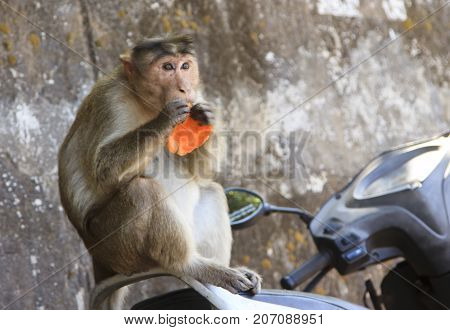 Monkey sits on the motorcycle seat and eats an orange