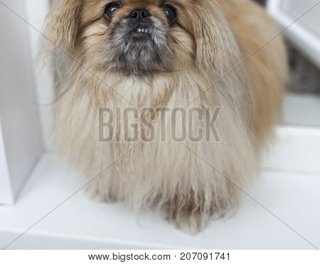 Dog of Pekinese breed of beige fur with fluffy fur sits near the door