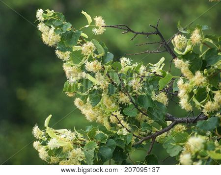 Branches of a blooming lime tree on a blurred background.