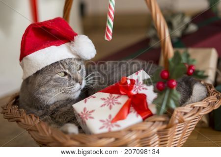 Beautiful tabby cat wearing Santa's hat lying in a basket underneath the Christmas tree with bunch of presents