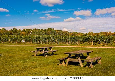 A couple of picnic near rows of grapes for wine produciton growing in a vineyard in NY State