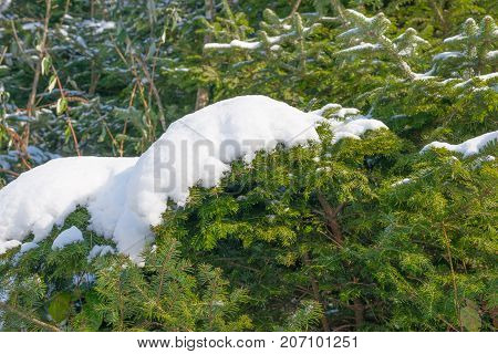 Winter landscape in the forest. A snowdrift of snow on the branches of a Christmas tree.