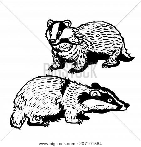 Hand drawing of two Badgers on white background. Black and White simple line Vector Illustration for Coloring Book - Line Drawn Vector.