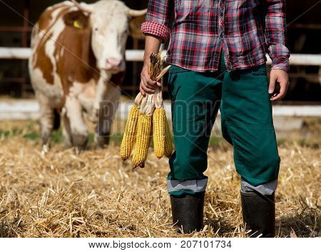 Farmer With Corn Cobs With Cow Behind Him