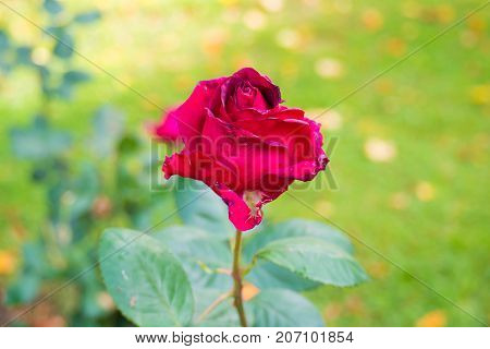 Withering rose - a sign of sorrow. Beautiful flower dying rose close.
