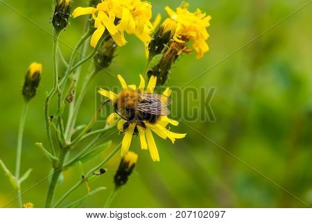 Bee on yellow dandelion flower. Nasekomoe collecting nectar in the meadow. Wildlife bees and collecting pollen for honey. Flowers honey plants of Europe.