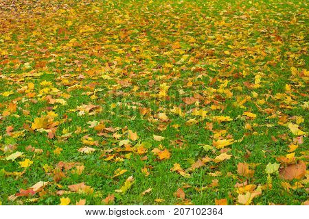 Autumn colorful leaves scattered on green grass. Bright background fading nature.