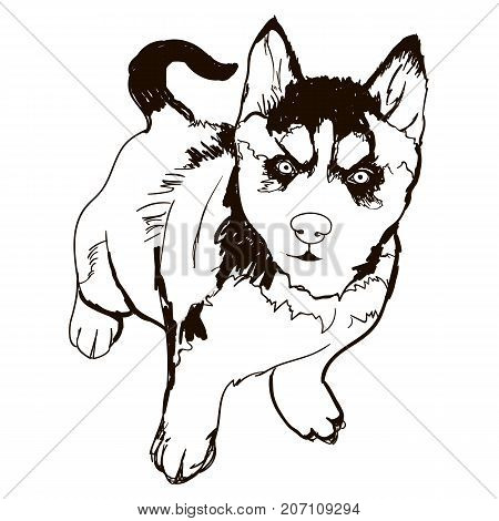 Vector black and white illustration of dog breed Husky isolated on white background