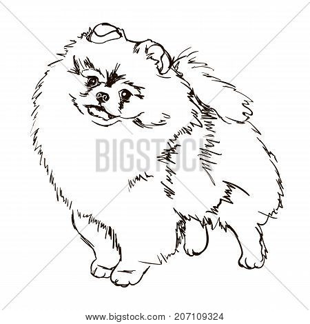 Vector black and white illustration of dog breed Pomeranian isolated on white background