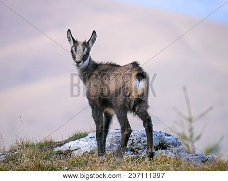 Portrait Young Chamois (Rupicapra rupicapra), on the top of the hill