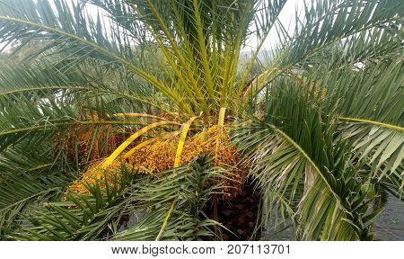 Date Palm / Phoenix Dactylifera with fruits / Lanzarote, Canary Islands, Spain