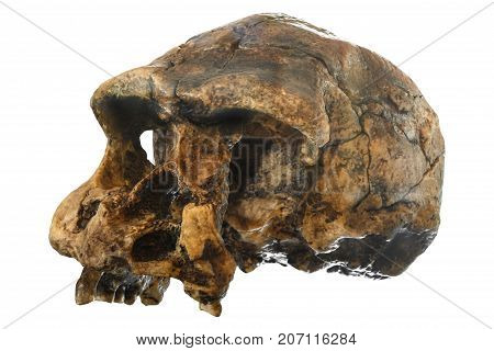 Homo erectus skull ( Oblique view ) . Discovered in 1969 in Sangiran Java Indonesia . Dated to 1 million years ago .