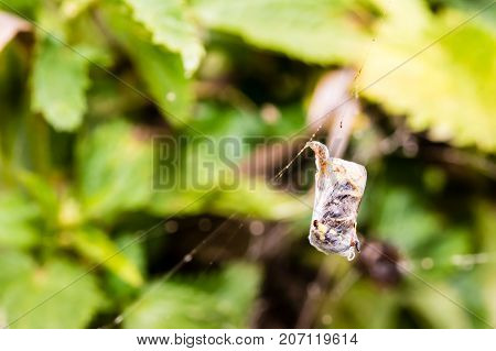 Dead Wasp Wrapped In Cobweb In Spider's Web