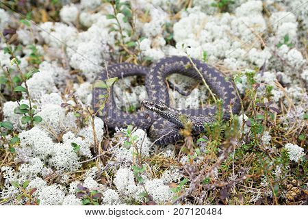 Siberian viper in the wild among the reindeer-moss