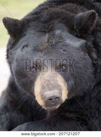 Close up image of an American black bear head, with shallow depth of field.