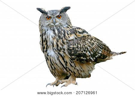 European Eagle Owl (Bubo bubo) White background, isolated