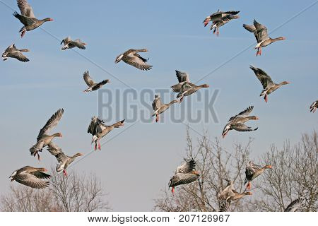 Greylag Goose (Anser anser) on flight in the swamp