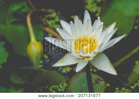 Isolated white lotus flower poked through water in pond at public park in vintage style. (Selective focus)