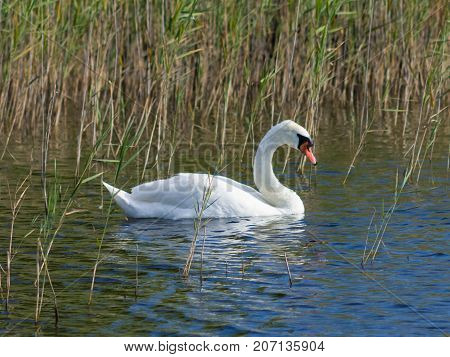 Mute swan Cygnus olor swimming in lake betweed reeds close-up portrait selective focus shallow DOF.