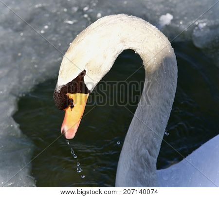 Background With A Mute Swan Drinking Water