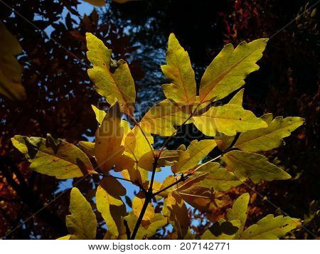 Translucent Acer Tree Leaves in the Evening
