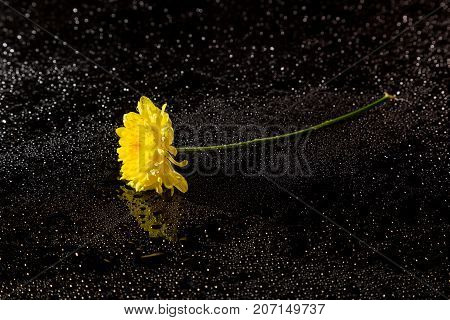 Yellow Chrysanthemum On A Black Reflective Background With Drops Of Water, Studio Shot,