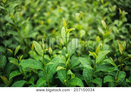 Green tea and fresh leaves in the tea farm