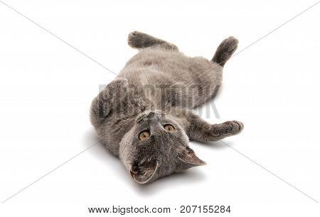 British shorthair grey cat isolated on the white background