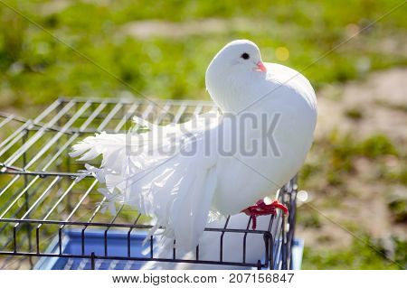 Decorative white dove sitting on the cage. Breed pigeon peacock. Birds in captivity, tamed by man. Breeding breeds of pigeons.