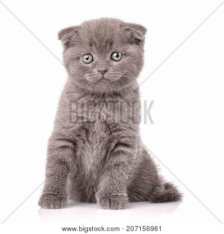 Lop-eared kitten. Scotland cat. Little playful kitten on white. cat poster