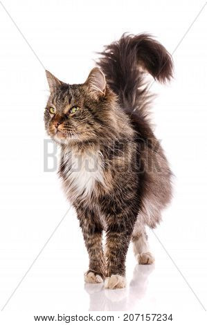 Striped cat on a white background. The cat sits and looks at the camera. Portrait of a cat. Studio photo